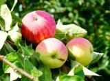оголошення Реализация саженцев  плодово-ягодных культур